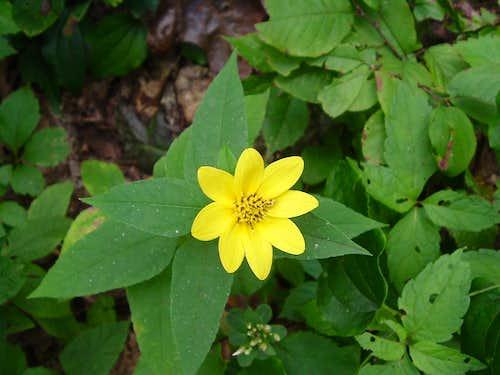 Yellow Flower on Bearfence Mountain