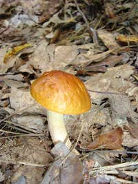 Mushroom on  Appalachian Trail