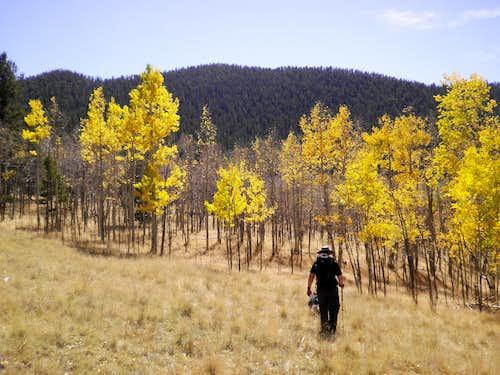 Golden Aspen in Field
