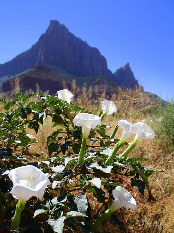 Datura Flowers and The Watchman at Zion National Park