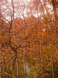 Red Aspen Forest