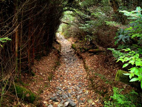 Pine Tunnel