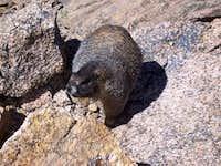 This summit-dwelling marmot...