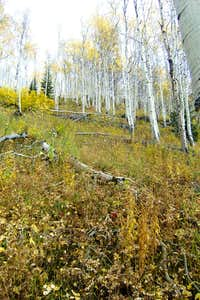 Birch and Aspen