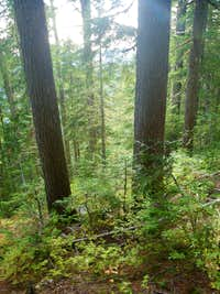 Old growth hemlock forest above Oshinow Lake