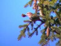 Common crossbill - male<br><i>(Loxia curvirostra)<i>