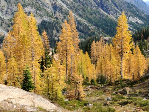 Larches in Headlight basin.