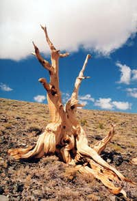 Bristlecone pine, County Line Hill, White Mountains