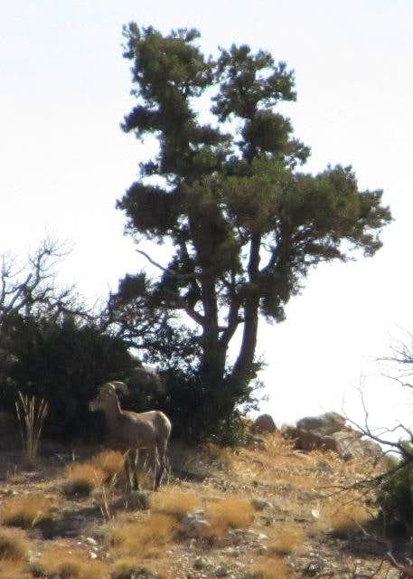 Bighorn Sheep near Quail Mtn