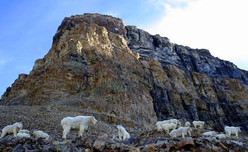 A herd of Mountain Goats protecting their favorite mountain.....Mt Timpanogos