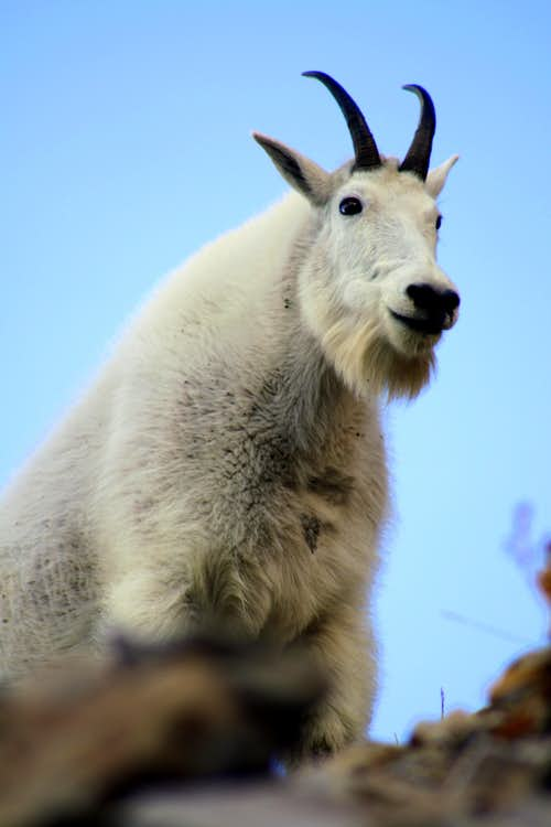 A Mountain Goat Close Up