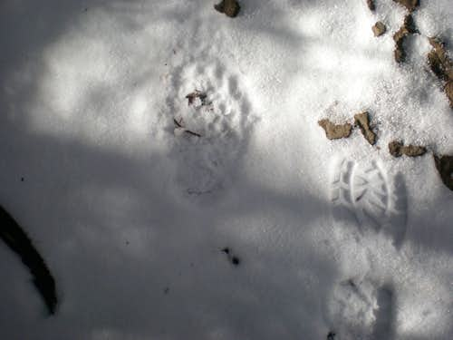 Bear print on Mitchell trail! ~ 6100 ft.