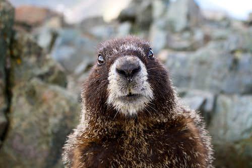Marmot on Wheeler