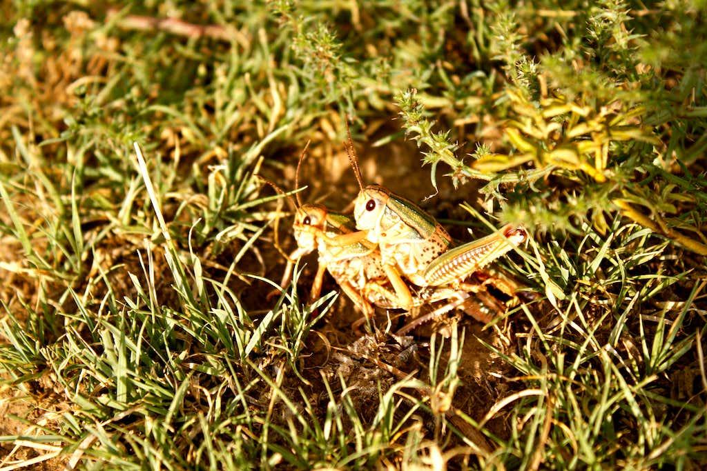 Grasshopper piggyback