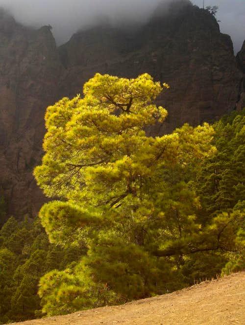 Pine tree in Caldera de Taburiente