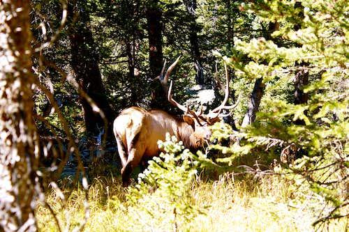 Rutting Elk in RMNP