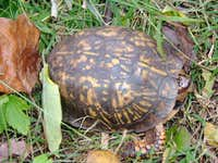 Box Tortoise Near Jones Mountain Cabin