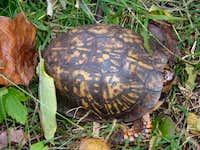 Box Tortoise Near Jones Mountain Cabin