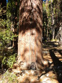 Old growth ponderosa pine