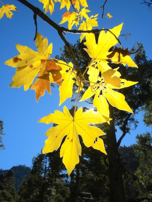 Big leaf maple