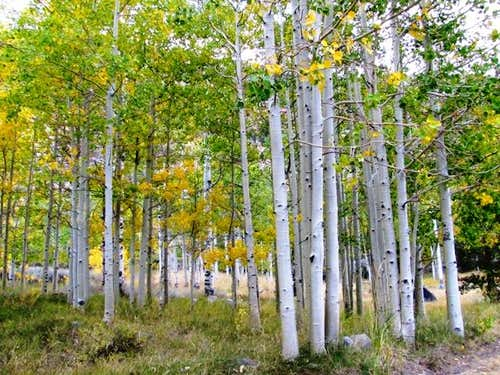 Aspen in Lee Vining Canyon