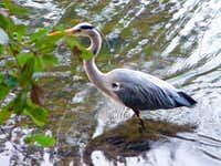 Blue heron, Lake Lagunitas