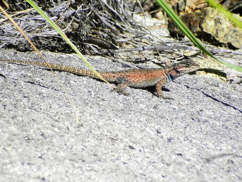 Summit Lizard
