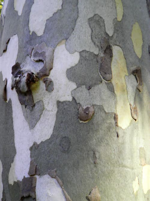 Sycamore Bark close-up