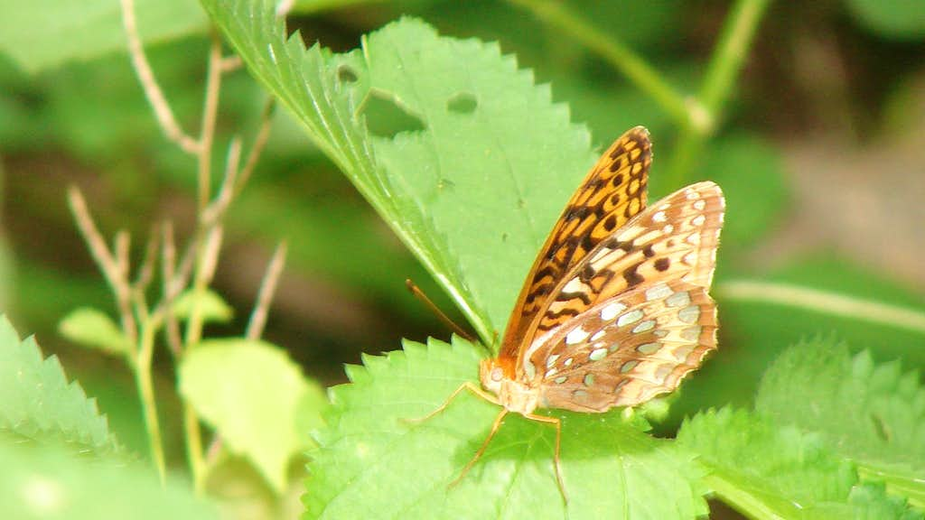 Big Devil's butterfly