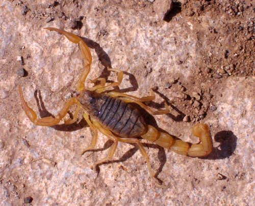 Scorpion in the High Atlas