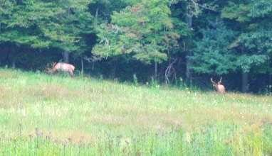 The Smoky Mountain elk have...