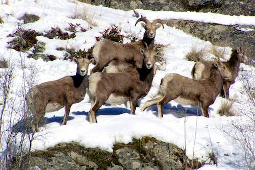 Kettle foothills Big Horn Sheep