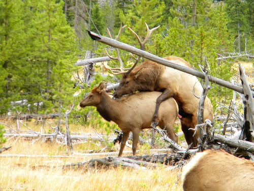 Elk Porn