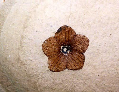 florissantia