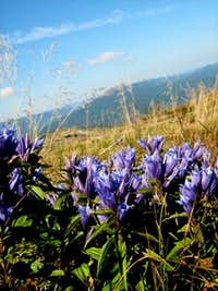 Willow Gentian on the slope of Bukowe Berdo