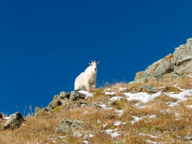 Mountain goat who followed us...