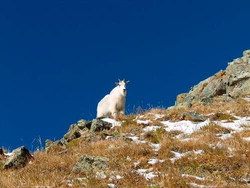 Mountain goat who followed us...