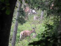 Carpathian deer