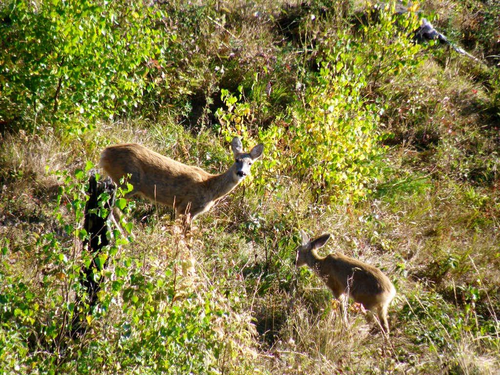 Roe deer female