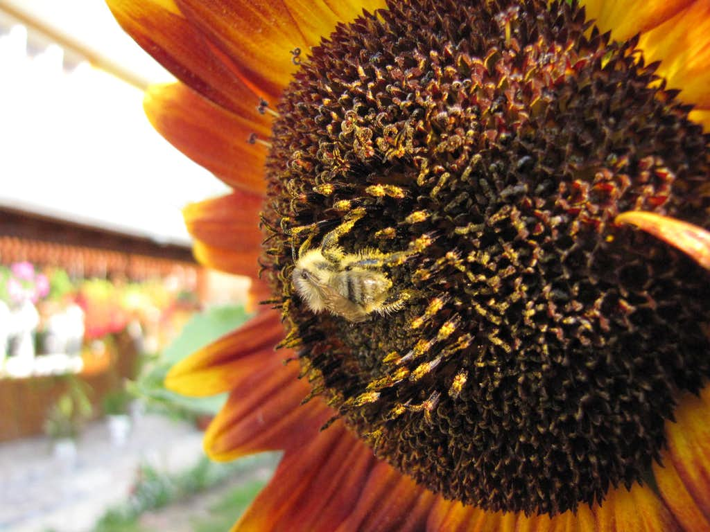 Picking bee pollen.