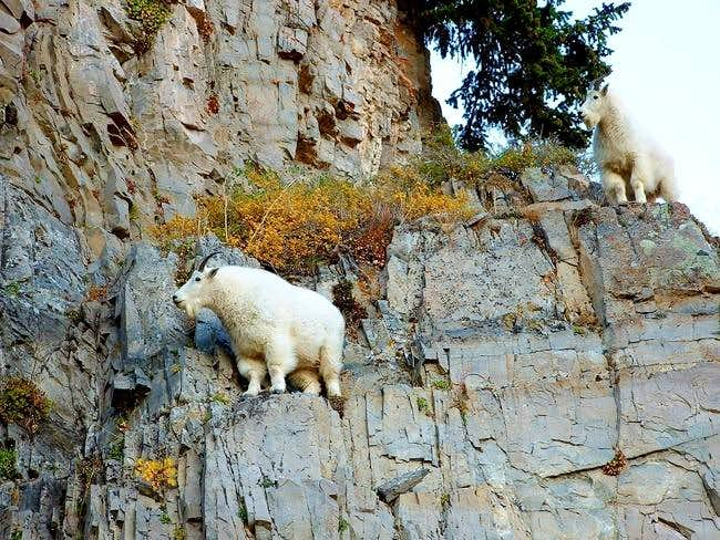 Rocky Mountain Goat Articles Summitpost