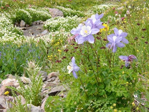 Aug. 2, 2004 10am; Columbines...