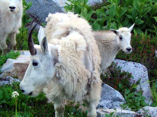 Some friendly mountain goats...
