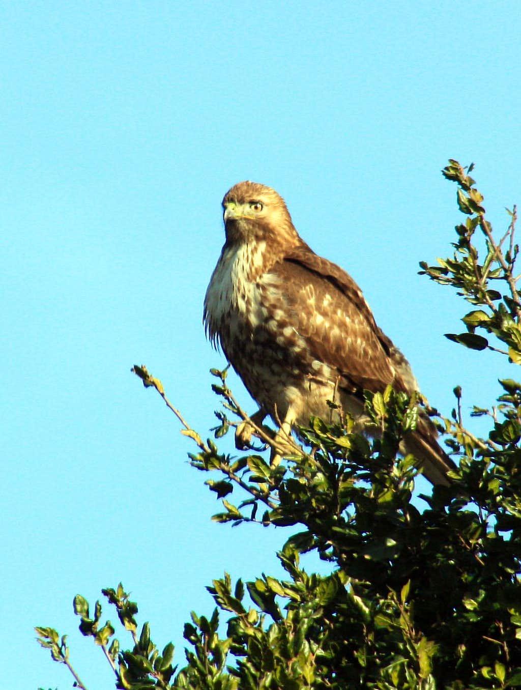 Hawk perched in oak tree