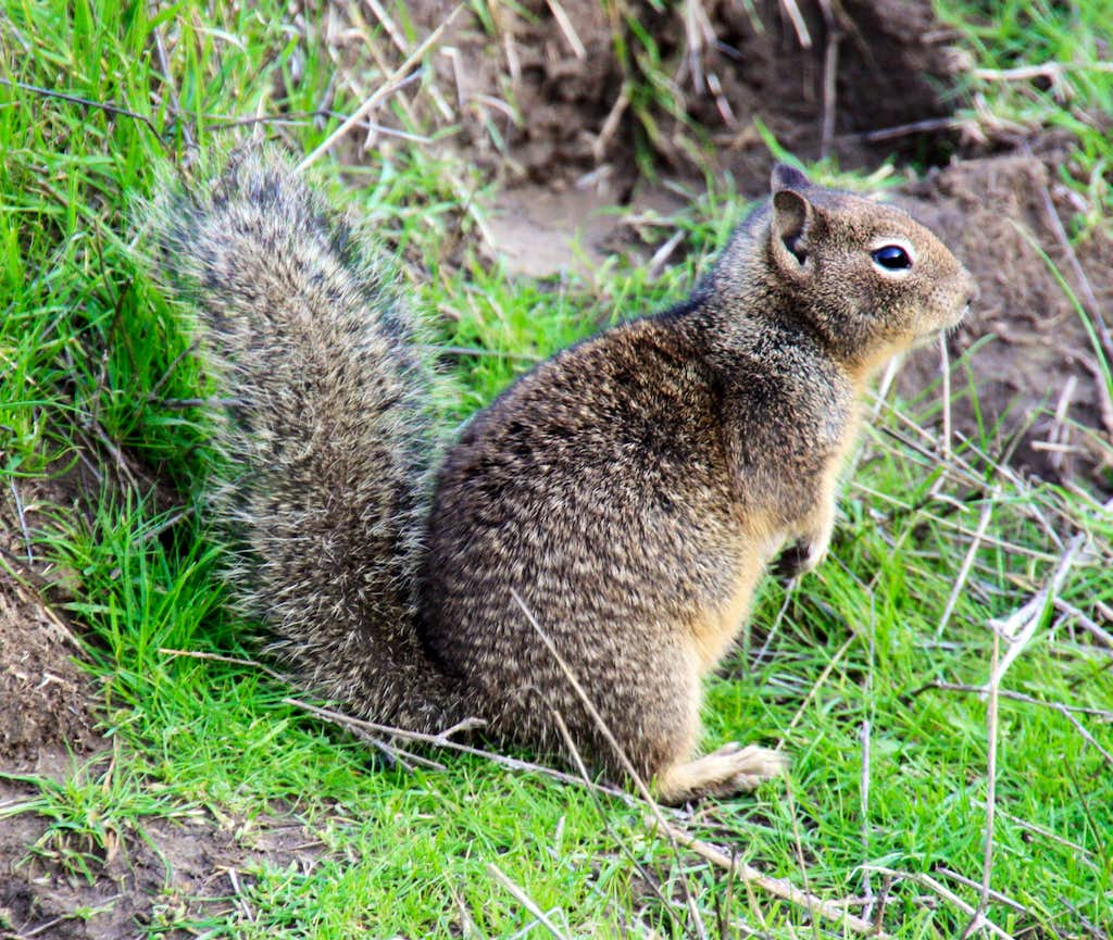 Ground squirrel by the Lagoon Trail