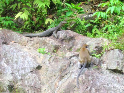 Giant Monitor Lizard and Long Tailed Macaque