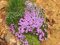 Moss Campion on Mount Baldy...