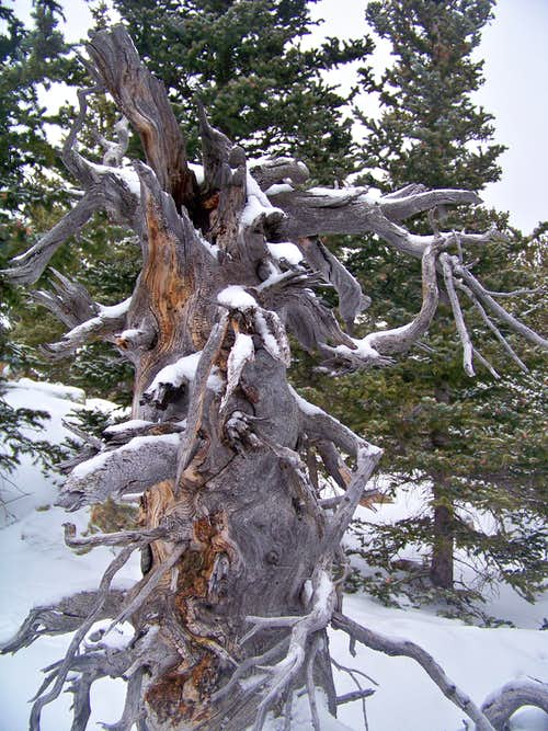 Old snag in the snow