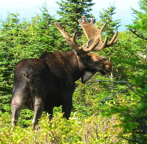 North Traveler Moose