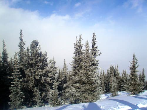Frosted spruce at tree line
